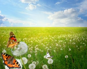 "There's no way I'd show any of the ""interesting"" pictures of both of those animes... so here's a field of butterflies!"